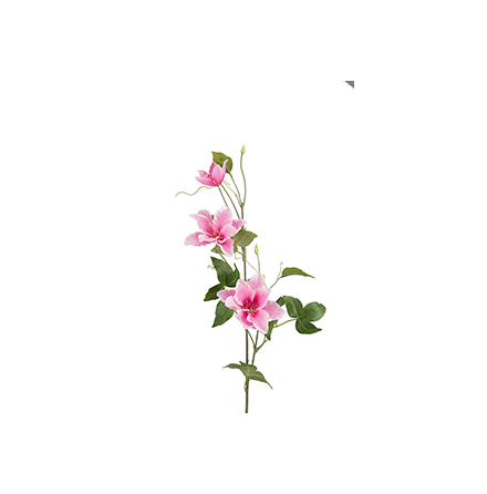 Clematis, Rosa